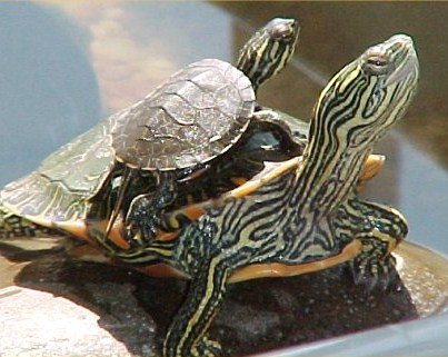 Piggy-Back Turtles!