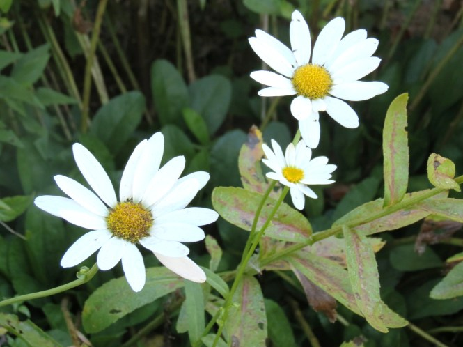 Last of the Daises