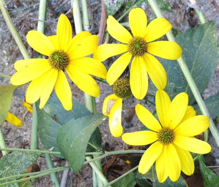 Perennial Sunflowers