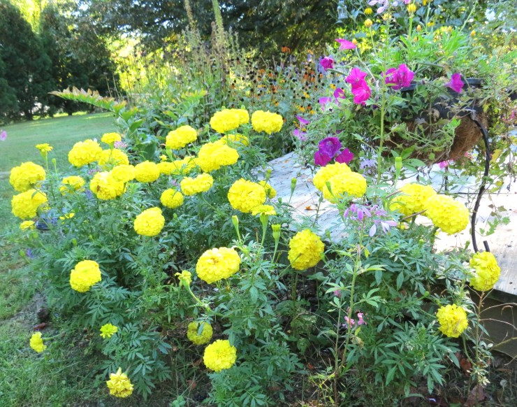 Yellow Marigolds and Deck