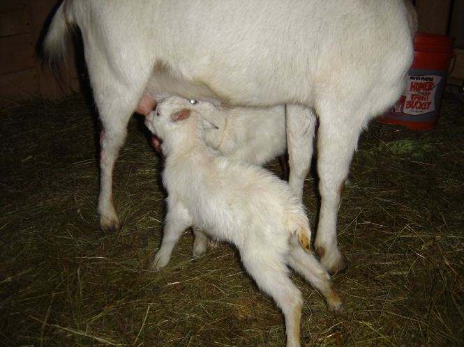 Oberon and Fairy - not long after birth - My Yellow Farmhouse